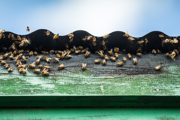 Wasps and bee removal from roofs and lofts